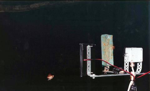 Henrik Hakansson: ohne Titel (Amphipyra pyramidea), 2000